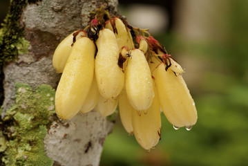 Belimbing Fruits  - Averrhoa bilimbi