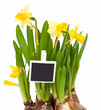 spring narcissus and a message card