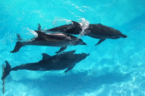 Foto op Canvas Dolfijn three dolphins high angle view turquoise water