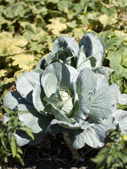 A cabbage head with big leaves