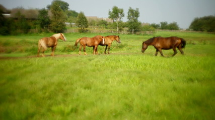four horses grazing in the meadow