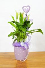 Calla Blüte  Blumentopf lila Zimmerpflanze