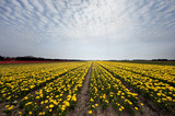 Yellow tulips in Holland