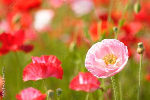 kwiaty-ozdobnych-makow