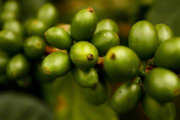Green coffee. Colombia
