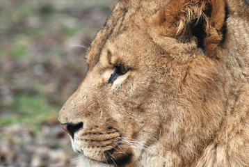 A close up of a lion's head 2