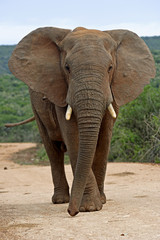 A Bull elephant challenges the photographer