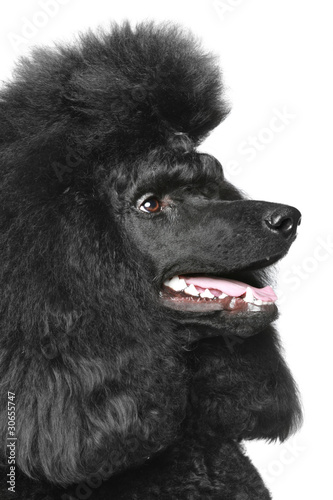 Black Royal poodle portrait (side view)