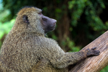 Close-up of african baboon sitting on a tree