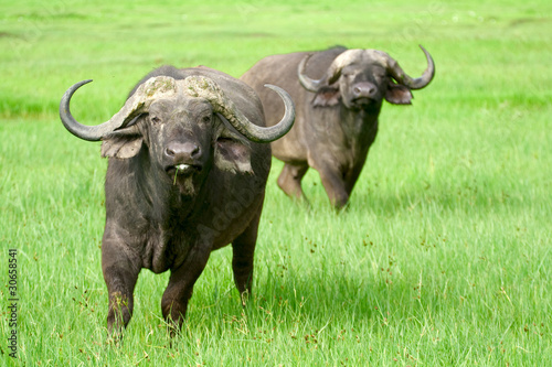 Two african buffaloes in a field of grass