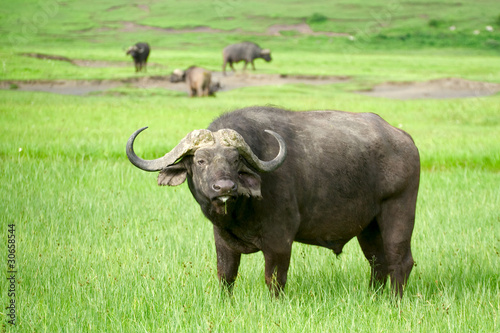 African buffalo in a field of grass