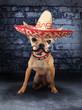 mexican chihuahua dog