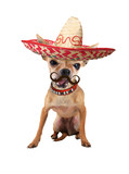 mexican chihuahua dog