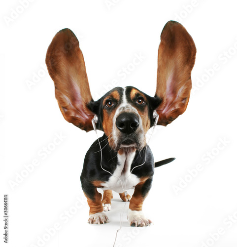 basset hound  listening to music