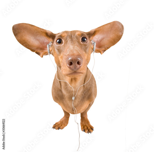 dachshund listening to music