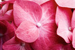 canvas print picture Pink hortensia