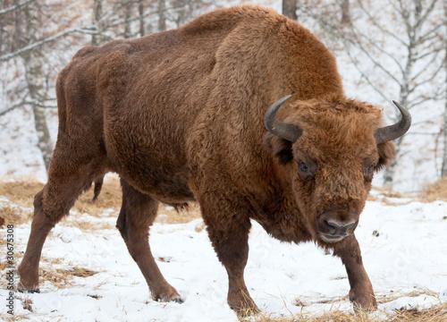 Poster Bison Bison