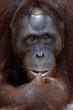 Orangutan Ben.