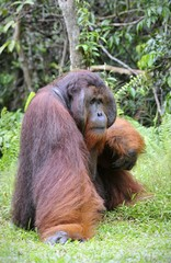 Alpha-male of the Orangutan.