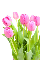 Pink Dutch tulips in closeup over white background