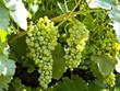 vigna con grappoli di uva bianca