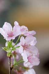 Pink Cherry blossom with nice background