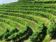 filari di uva prosecco nella zona di valdobbiadene, treviso