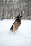 German sheep dog is playing with snow