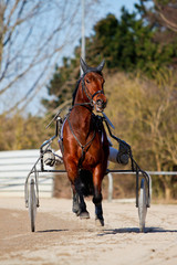 horse racing harness