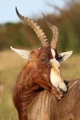 Blesbok Antelope Grooming
