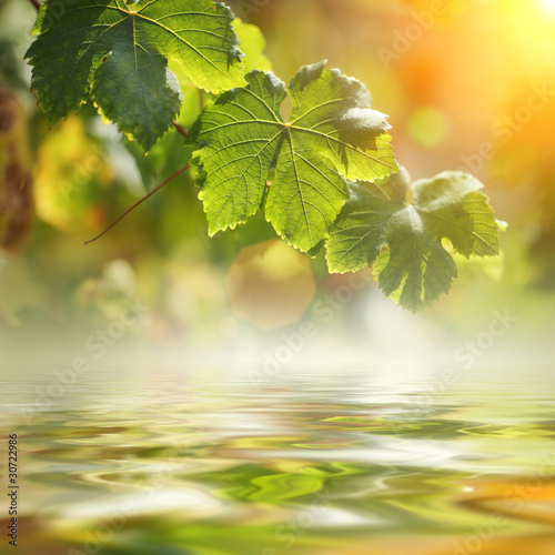 Grape leaves over water background, closeup.