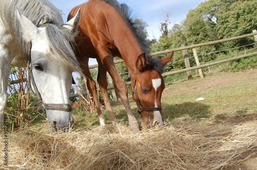 Fotobehang Paardrijden jument et son poulain broutant-4