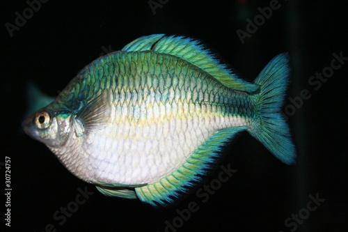 Turquoise Rainbow Fish Quot Turquoise Rainbow Fish Quot Stock