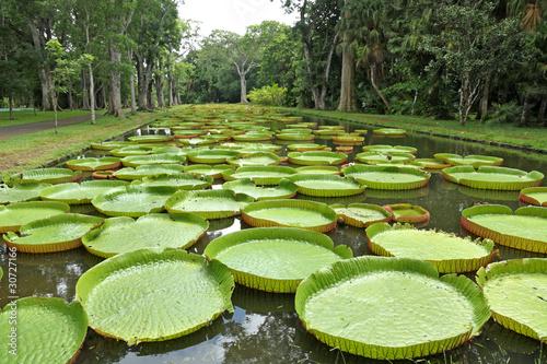 Fotobehang Water planten bassin aux nénuphars géants, Victoria Amazonica, Maurice