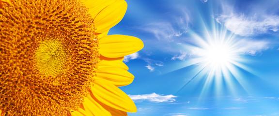 Tournesol soleil et ciel bleu