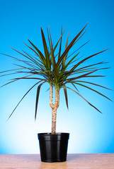 houseplant dracaena palm in a flowerpot on blue background