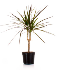 houseplant dracaena palm in a flowerpot, isolated