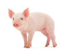 """Постер, картина, фотообои """"Pig"""""""