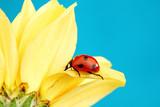 Fototapeta słonecznik - tło - Insekt