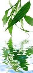 bambou bonheur asiatique