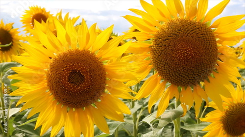Sunflowers dancing in the wind
