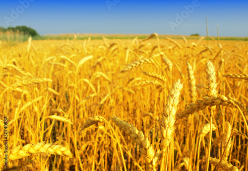 golden wheat
