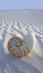 Chambered Nautilus (Nautilus pompilius) on sand dune