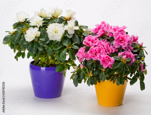Papiers peints Azalea two azaleas in pots