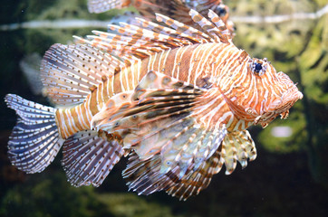Lion Fish (Pterois)