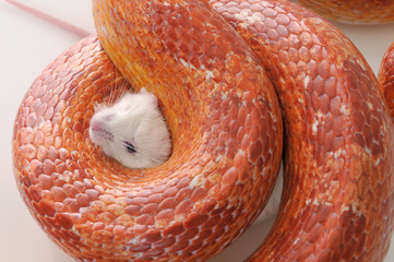 Corn Snake (Elaphe guttata),trapping a white mouse