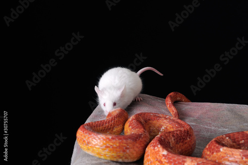 Corn Snake (Elaphe guttata), or Red Rat Snake and a white mouse