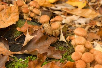 Armillaria mellea on old stub