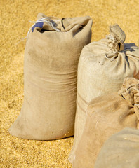 Sacks with wheat harvest and yellow hweat at background.