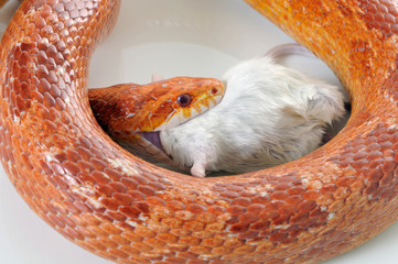 Corn Snake (Elaphe guttata) eating a mouse